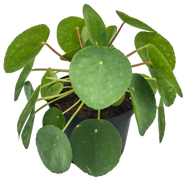 Pilea, Colour Paradise, Kitchener Waterloo