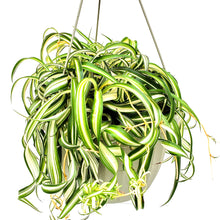 Load image into Gallery viewer, Spider Plant 'Bonnie', Chlorophytum