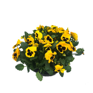 Pansy bowls, assorted colours