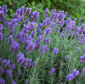 Lavendula Phenomenal,Lavender, Colour Paradise, Kitchener Waterloo
