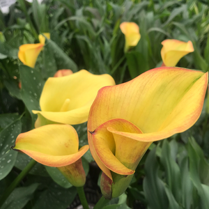 Calla Lilies, Assorted Colours