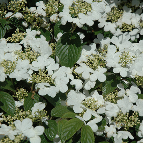 Viburnum snowflake, Colour Paradise, Kitchener Waterloo