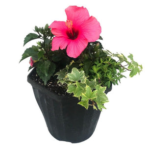 "Hibiscus, 12"" mixed planter"