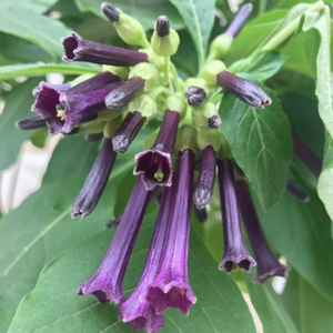 "Iochroma 'Blue', 6"" pot"