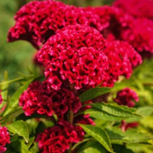 Celosia Tornado Red,  Colour Paradise, Kitchener Waterloo
