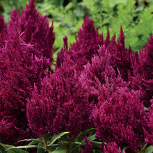 Load image into Gallery viewer, Celosia First Flame,  Colour Paradise, Kitchener Waterloo