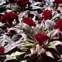 Load image into Gallery viewer, Celosia,  Colour Paradise, Kitchener Waterloo