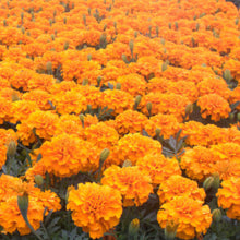 Load image into Gallery viewer, Marigold 'Dwarf'