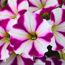 Load image into Gallery viewer, Petunia 'Crazytunia'