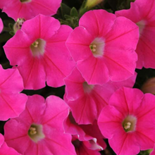 Load image into Gallery viewer, Petunia 'Wave'