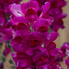 Load image into Gallery viewer, Snapdragon 'Speedy Sonnet'