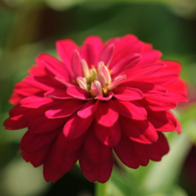 Load image into Gallery viewer, Zinnia 'Profusion', Cell pak