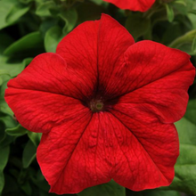 Load image into Gallery viewer, Petunia 'Pretty Grand'