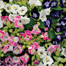 Load image into Gallery viewer, Torenia, Upright series