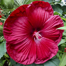 Load image into Gallery viewer, Mallow 'Luna' Hibiscus