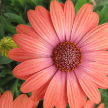 Load image into Gallery viewer, Osteospermum