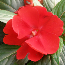 "Load image into Gallery viewer, New Guinea Impatiens, Green Leaf, 4"" pot"