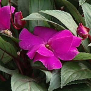 "New Guinea Impatiens, Variegated and Bronze Leaf, 4"" pot"