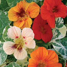 Load image into Gallery viewer, Nasturtium