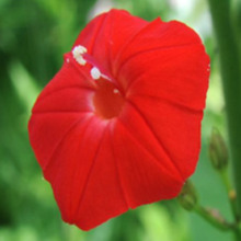 Load image into Gallery viewer, Morning Glory, Cell pak