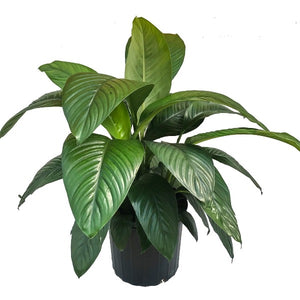 Spathiphyllum, Colour Paradise, Kitchener Waterloo