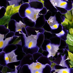 Torenia, Upright series