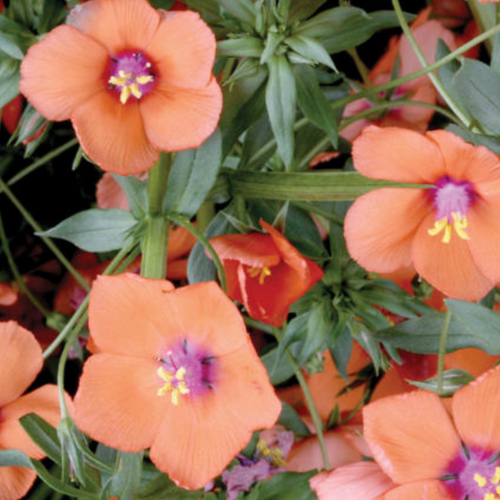 Anagallis Wildcat Orange,  Colour Paradise, Kitchener Waterloo
