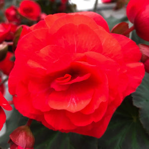 Begonia Solenia Red, Colour Paradise, Kitchener Waterloo