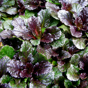Ajuga Black Scallop, Colour Paradise, Kitchener Waterloo
