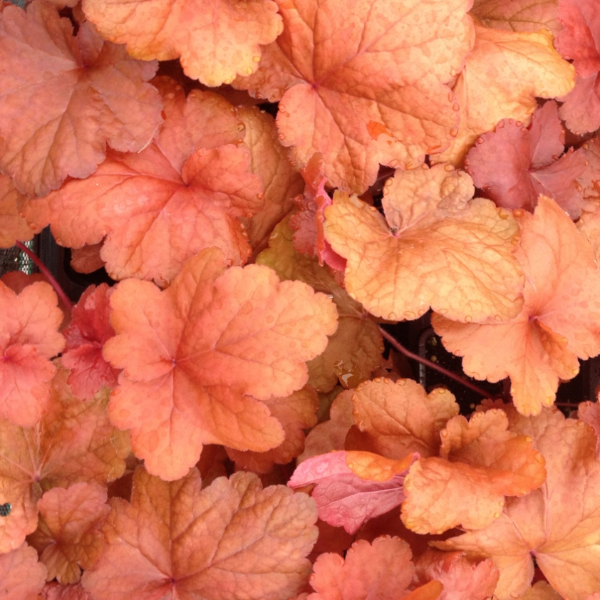 Heuchera Fire Alarm, Colour Paradise, Kitchener Waterloo