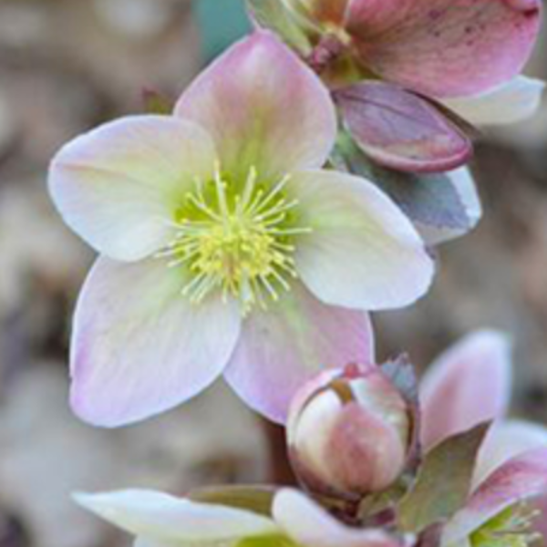 Helleborus Ivory Prince, Colour Paradise, Kitchener Waterloo