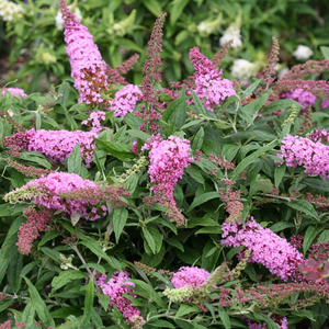 Buddleia Pugster Pink, Colour Paradise, Kitchener Waterloo