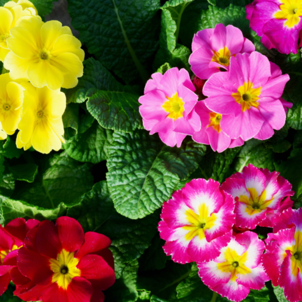 Primula polyanthus 'Supernova Mixed'