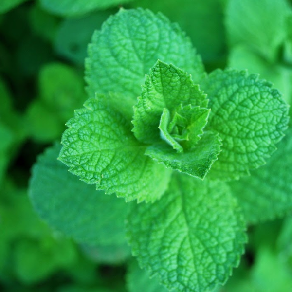 Mint 'Apple'