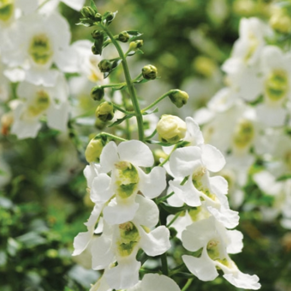 Angelonia Archangel White,  Colour Paradise, Kitchener Waterloo