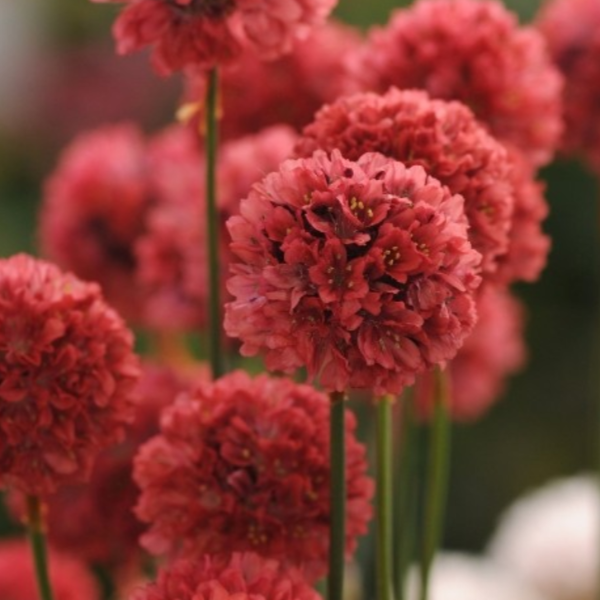 Armeria Ballerina Red, Colour Paradise, Kitchener Waterloo