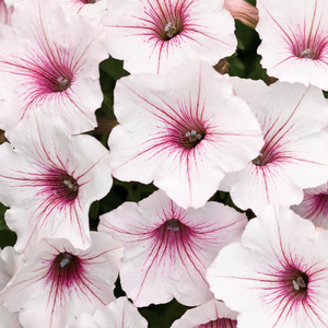 Supertunia Vista 'Silverberry'