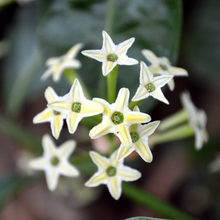 Load image into Gallery viewer, Cestrum Night Blooming Jasmine,  Colour Paradise, Kitchener Waterloo