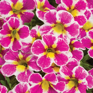 Calibrachoa Holy Cow, Colour Paradise, Kitchener Waterloo