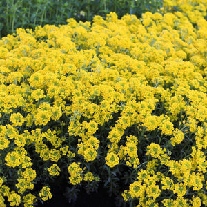 Alyssum Mountain Gold, COlour Paradise, Kitchener Waterloo
