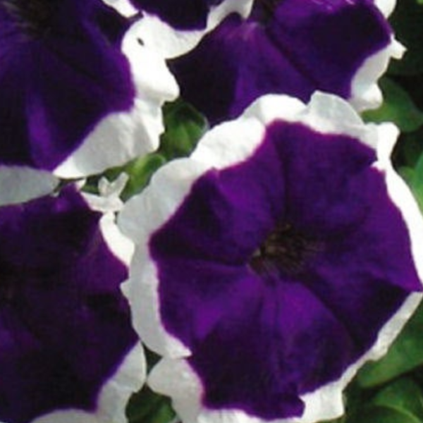 Petunia 'Blue Frost'