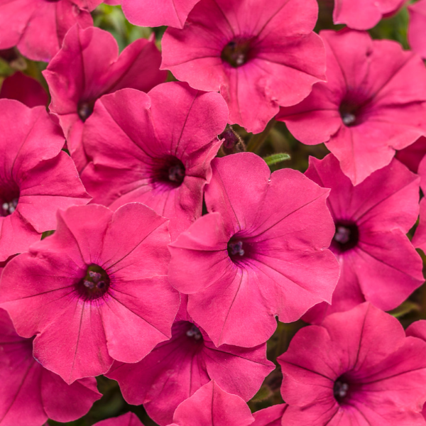 Supertunia Vista 'Fuchsia'
