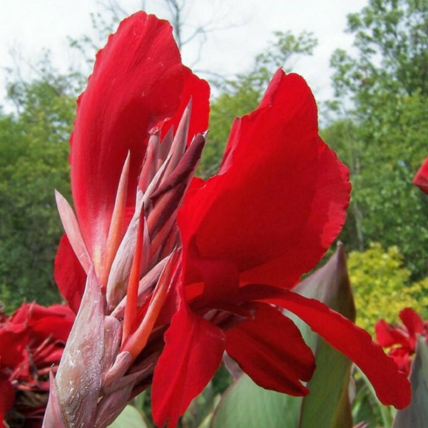 Canna Lily 'Tropical Red'