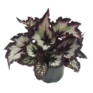 Begonia Rex Jurassic Silver Point, Colour Paradise, Kitchener Waterloo