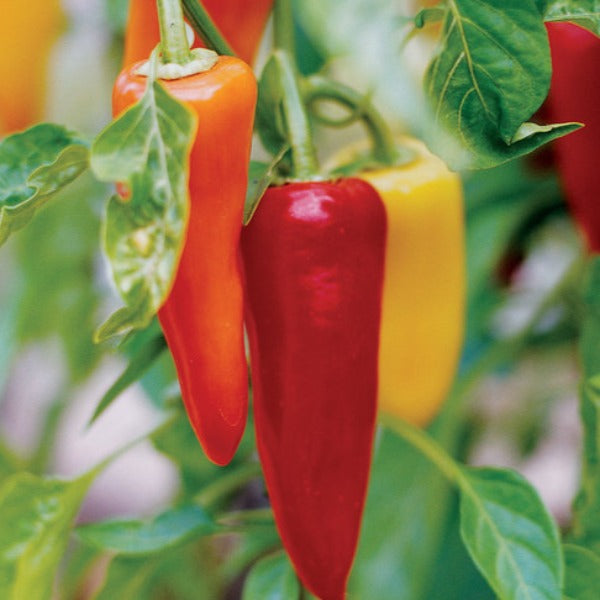 Pepper Hot Sunset, Colour Paradise, Kitchener Waterloo
