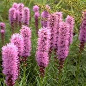 Liatris, Colour Paradise, Kitchener Waterloo