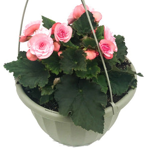 Begonia Rieger Hanging Basket, Colour Paradise, Kitchener Waterloo