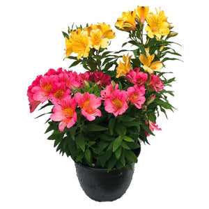 Alstroemeria Colorita, Colour Paradise, Kitchener Waterloo