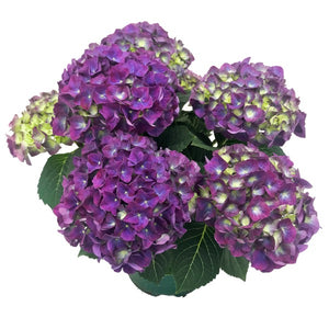 Hydrangea Jip Blue, Colour Paradise, Kitchener Waterloo