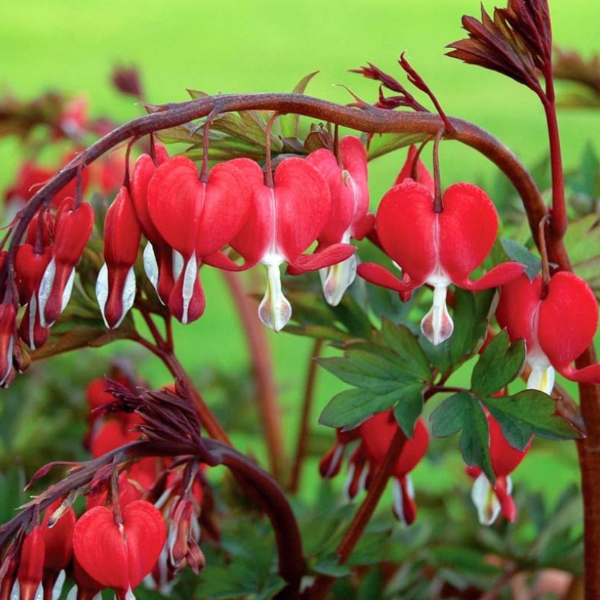 Dicentra Valentine, Colour Paradise, Kitchener Waterloo
